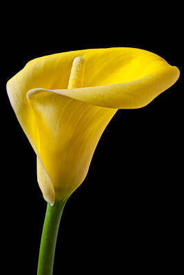 Yellow Calla Lily Art Print by Garry Gay