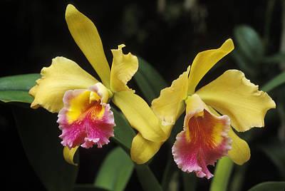 Blc Photograph - Yellow Cattleya Orchids by Greg Vaughn