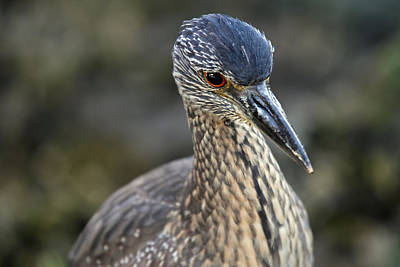 Photograph - Yellow Crowned Night Heron At Estero Bay by Juergen Roth