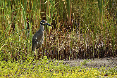 Photograph - Yellow-crowned Night-heron by Roena King