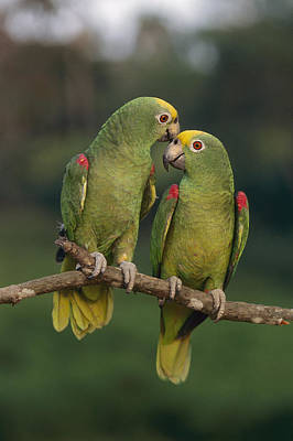 Yellow-crowned Parrot Kiss Art Print by Thomas Marent