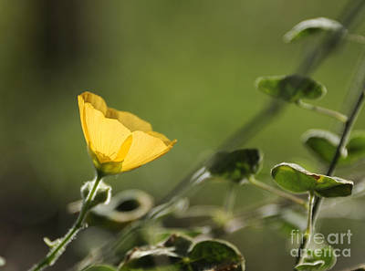 Photograph - Yellow Cup Of Sunshine by Nancy Greenland
