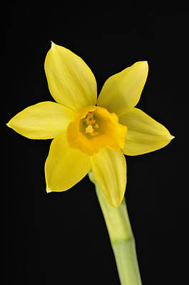 Photograph - Yellow Daffodil Black Background by Matthias Hauser