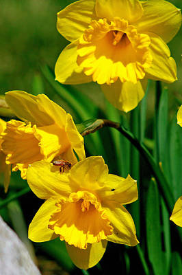 Art Print featuring the photograph Yellow Daffodils And Honeybee by Kay Novy