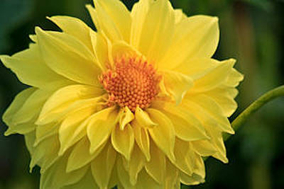 Photograph - Yellow Dahlia by Ann Murphy