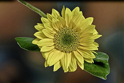 Photograph - Yellow Daisy by Bob Mulligan