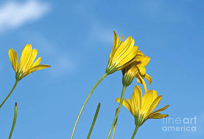 Daisy Bud Photograph - Yellow Daisy Flowers by Blink Images
