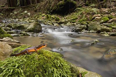Photograph - Yellow Eyed Ensatina Salamander by Sebastian Kennerknecht