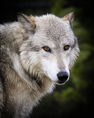 Art Print featuring the photograph Yellow Eyes by Steve McKinzie