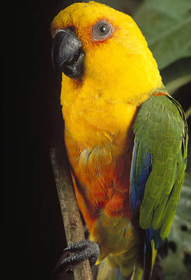 Amazona Photograph - Yellow-faced Parrot Amazona Xanthops by Claus Meyer