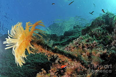 Yellow Feather Duster Worm Art Print by Sami Sarkis