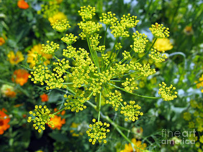 Photograph - Yellow Firework Or Dill In Its Glory by Ausra Huntington nee Paulauskaite