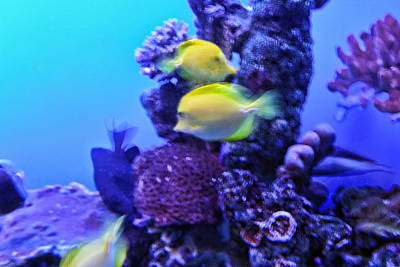 Yellow Fish With Purple Coral Art Print by Linda Phelps