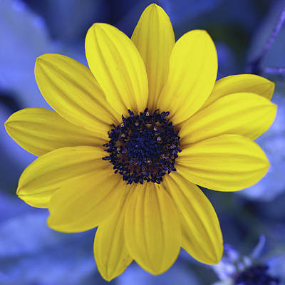 Tickseed Photograph - Yellow Flower 3 by Skip Nall