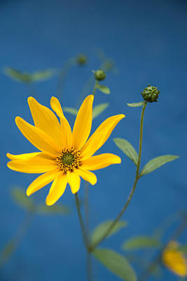 Photograph - Yellow Flower Blue Background by Matthias Hauser