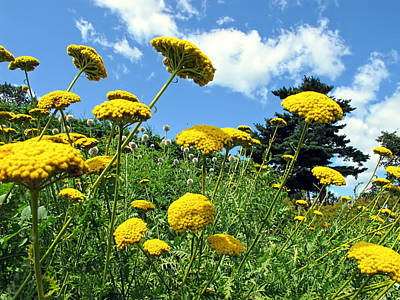 Photograph - Yellow Flower Garden On A Grassy Slope Under A Blue Sky In A Summer Landscape In Ottawa by Chantal PhotoPix