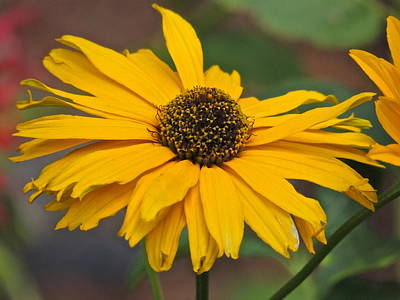 Art Print featuring the photograph Yellow Gerber Daisy by Eve Spring