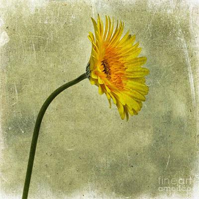 Yellow Gerbera Art Print by Bernard Jaubert