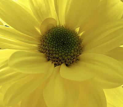 Photograph - Yellow Gerbera by Fiona Messenger