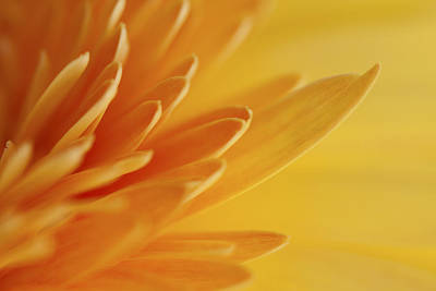 Photograph - Yellow Gerbera Petals II by Zoe Ferrie