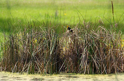 Photograph - Yellow-headed Blackbird by Emanuel Tanjala