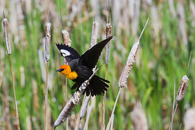 2012 Nbc Weather Calendar Photograph - Yellow-headed Blackbird Ready For Take-off by Merle Ann Loman