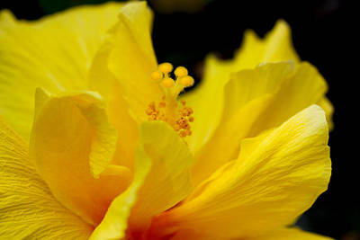 Photograph - Yellow Hibiscus by Diana Haronis
