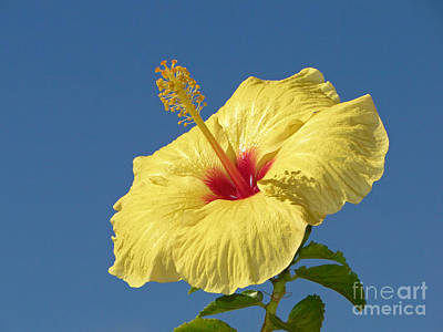 Photograph - Yellow Hibiscus by Paul Topp