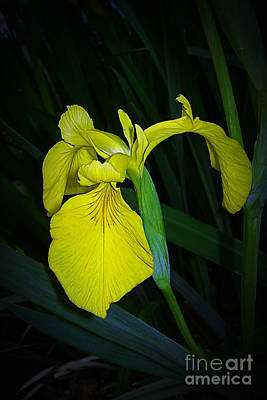 Yellow Iris Art Print by Judi Bagwell