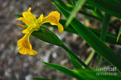 Yellow And Green Floral Photograph - Yellow Iris by Kaye Menner