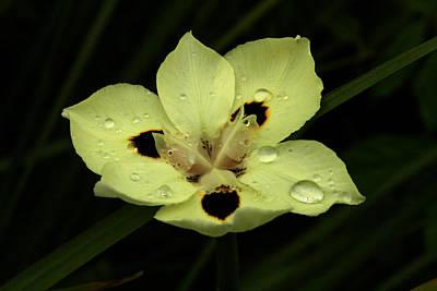 Yellow Iris With Rain Drops Art Print