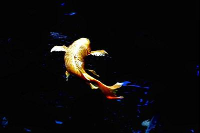 Yellow Koi Art Print by Don Mann