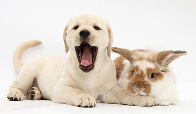 Mixed Labrador Retriever Photograph - Yellow Lab Puppy With Rabbit by Mark Taylor