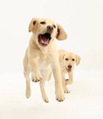 Yellow Labrador Pups Leaping And Running Print by Mark Taylor