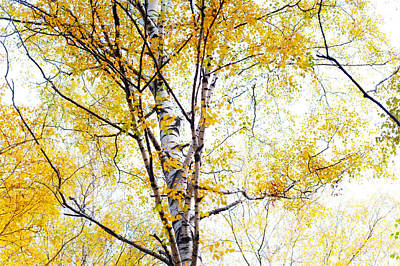 Yellow Lace Of The Birch Foliage  Art Print by Jenny Rainbow