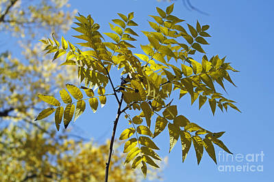 Photograph - Yellow Leaves by Shawn Naranjo
