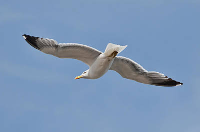 Y120817 Photograph - Yellow Legged Sea Gull by Dave Stamboulis Travel Photography