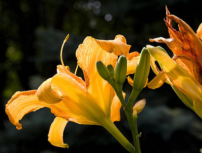 Photograph - Yellow Lilies II by Michael Friedman