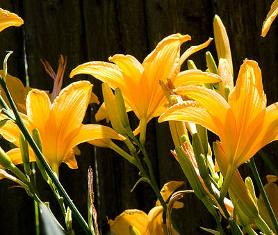 Photograph - Yellow Lilies by Michael Friedman