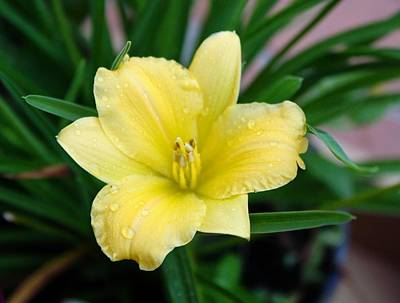 Yellow Lilly Print by Cathie Tyler