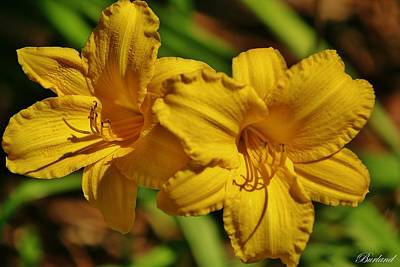 Burland Photograph - Yellow Lily by Burland McCormick