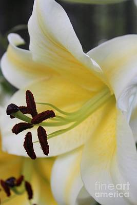 Photograph - Yellow Lily by Terri Thompson