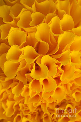 Yellow Marigold Macro View Original by Atiketta Sangasaeng