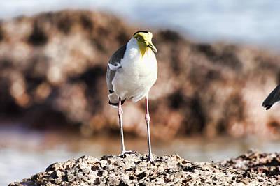 Lapwing Photograph - Yellow Mask by Douglas Barnard