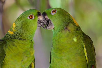 Yellow Naped Parrots Kissing Art Print by Craig Lapsley