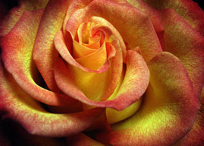 Photograph - Yellow Orange Rose by Nancy Griswold
