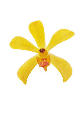 Yellow Orchid Original by Atiketta Sangasaeng