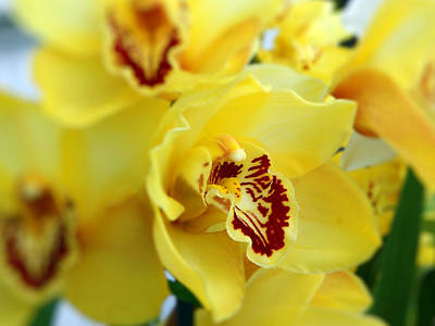 Photograph - Yellow Orchids by Jamie Frier