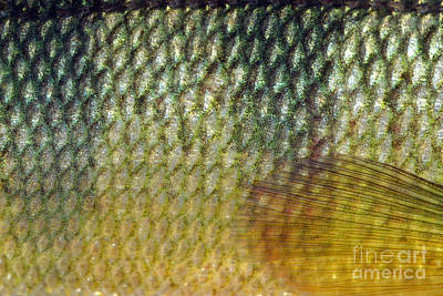 Sports Fish Photograph - Yellow Perch Perca Flavescens Scales by Ted Kinsman