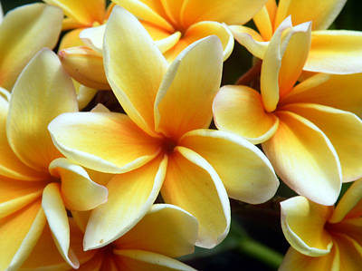 Digital Art - Yellow Plumeria by Vicky Tarcau